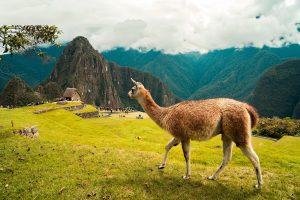 Machu-Pichu-Peru-Lama
